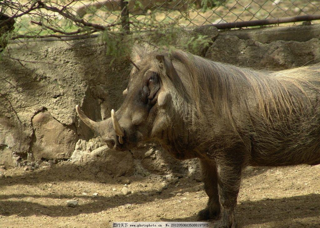 野猪 动物园 獠牙 野生动物 生物世界 摄影