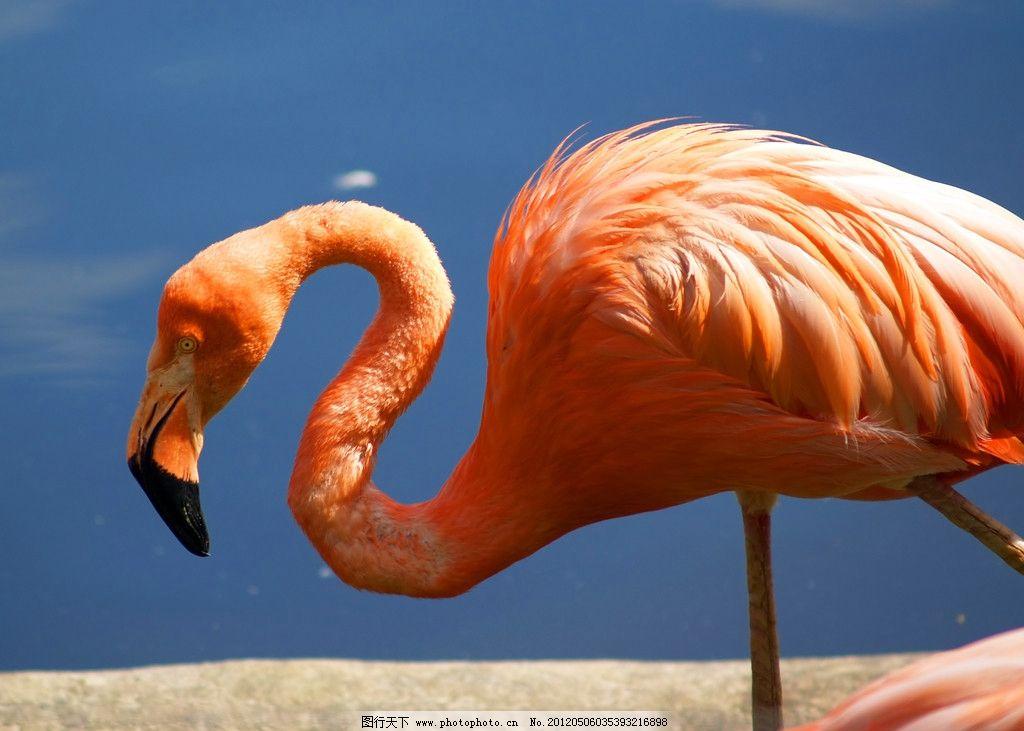 非洲火烈鸟 非洲 火烈鸟 自然 珍贵 保护 动物 鸟类 水边 河中 鸟类