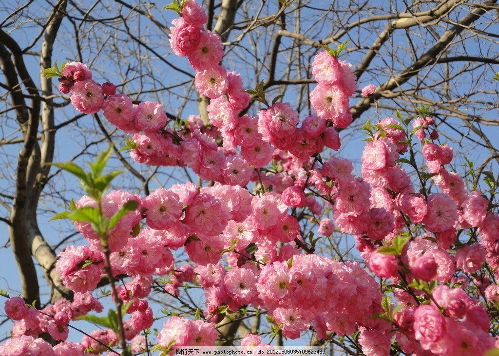 樱花 花 树叶 自然风景 摄影 花朵 蓝天 粉色花 叶 绿叶 花草 生物
