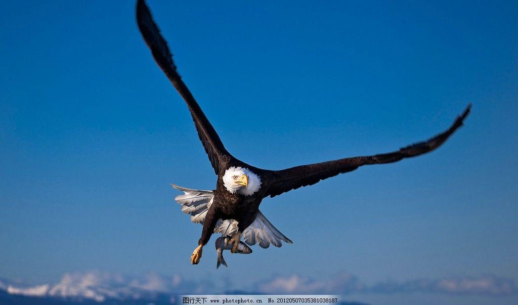 飞翔 老鹰 天空 飞行 鸟类 生物世界 摄影 96dpi jpg