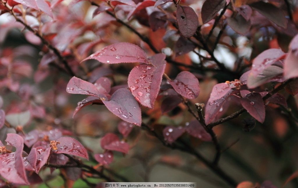 雨后 叶子 暗红色 树叶 风景 植物 树木树叶 生物世界 摄影 350dpi