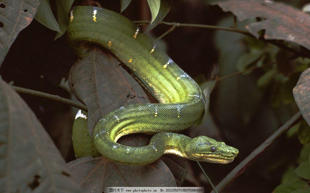 青蛇 毒蛇 树叶 竹叶青 斑纹 艳丽 绿色 国外 高清 摄影 其他生物图片