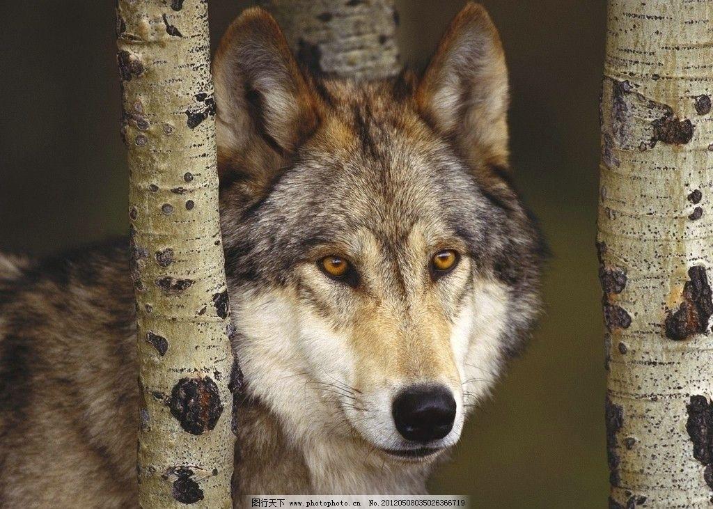 森林狼 狼森林狼 野生动物 生物世界 摄影 72dpi jpg