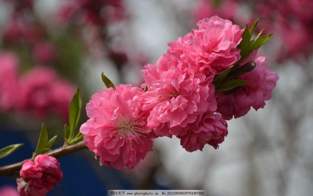 碧桃 花卉 花桃 花单生 先叶开放 花瓣长圆状 椭圆形 红色 数朵