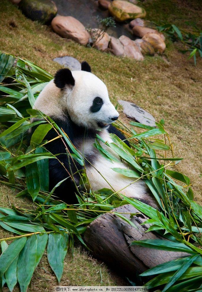 香港海洋公园 公园 大熊猫 竹子 竹叶 建筑 摄影 300dpi 野生动物