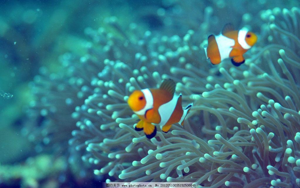 小丑鱼 海底世界 海葵 可爱萌 海洋生物 生物世界 摄影