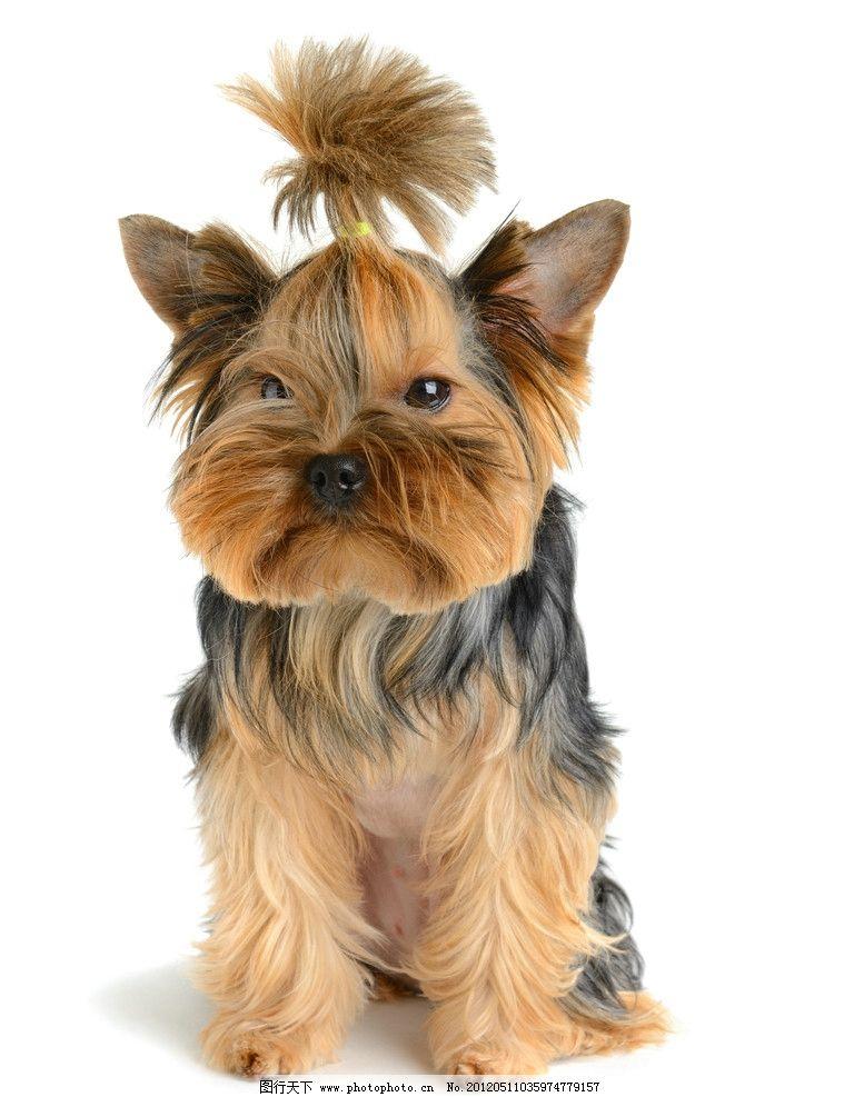 约克夏犬图片 约克夏 狗狗 犬 可爱 宠物 家禽家畜 生物世界 摄影 100