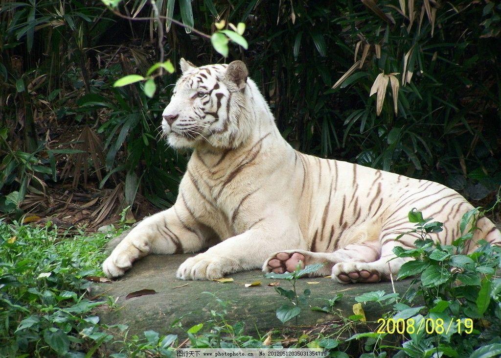 白虎 新加坡 动物园 老虎 野生动物 生物世界 摄影 230dpi jpg