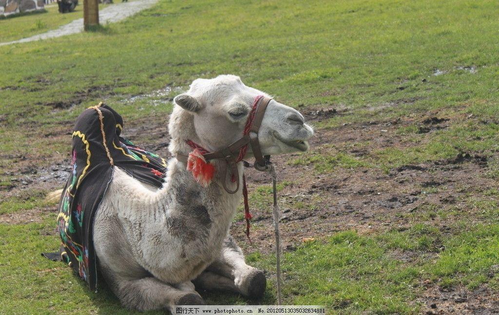 骆驼 新疆 那拉提草原 野生动物 生物世界 摄影 72dpi jpg