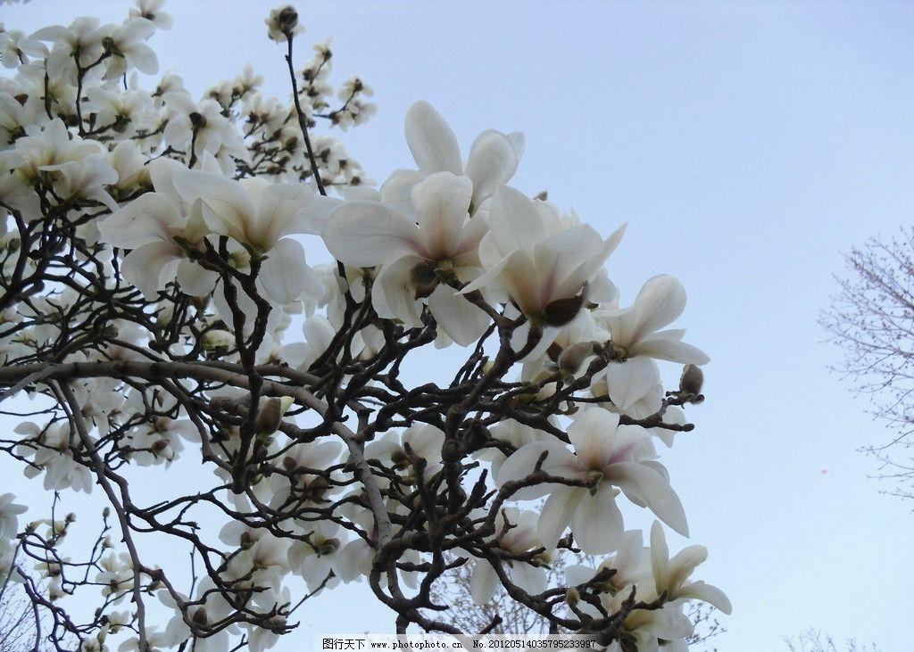 木兰花 木兰 白色 花 百花齐放 花草 生物世界 摄影 72dpi jpg