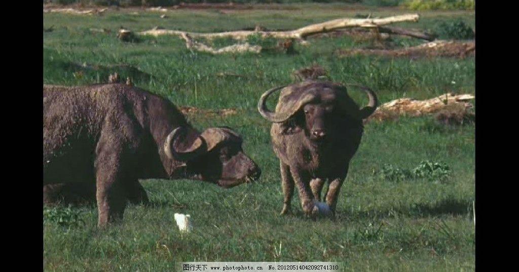非洲水牛 非洲动物 动物世界
