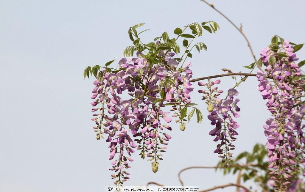 紫藤花 垂露欲滴 可爱的植物 花草 生物世界 摄影 72dpi jpg
