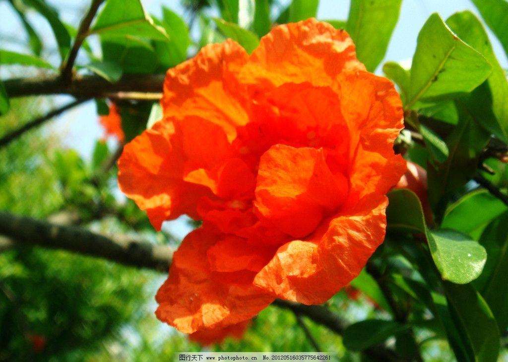 石榴花 红花 绿叶 花蕾 蓝天 石榴树 花草 生物世界 摄影 72dpi jpg