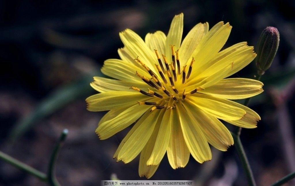 小黄花 绽放 花蕊 植物 摄影