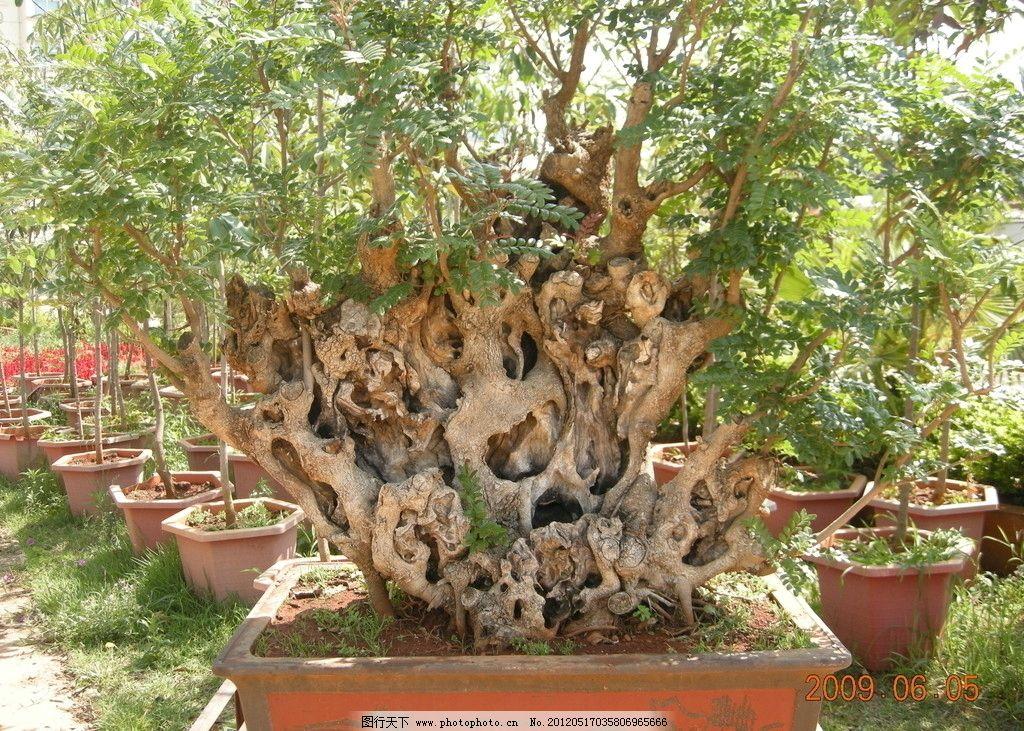 盆景 树根盆景 树木树叶 生物世界 摄影 300dpi jpg