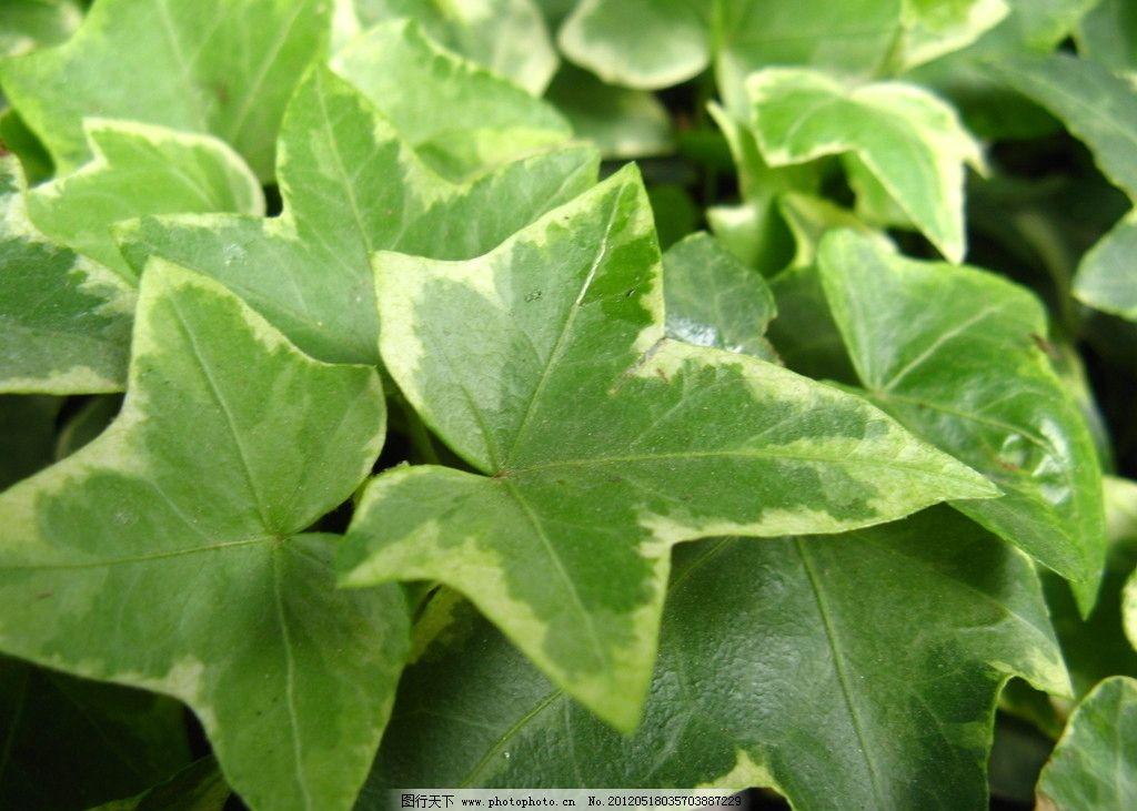 植常青藤 绿植 常青藤 绿叶 绿色植物 盆栽 种植 栽培 植物 叶子 藤蔓