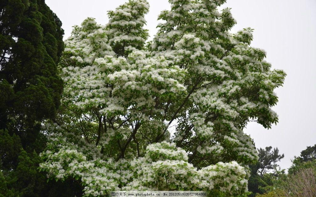 流苏树花图片