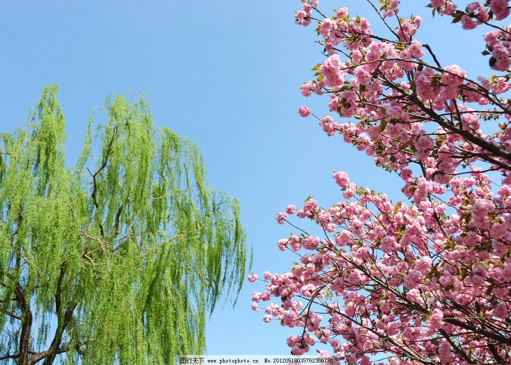 樱花 春天 春花 红花 繁花 绿树 垂柳 蓝天 日本樱花 花草 生物世界