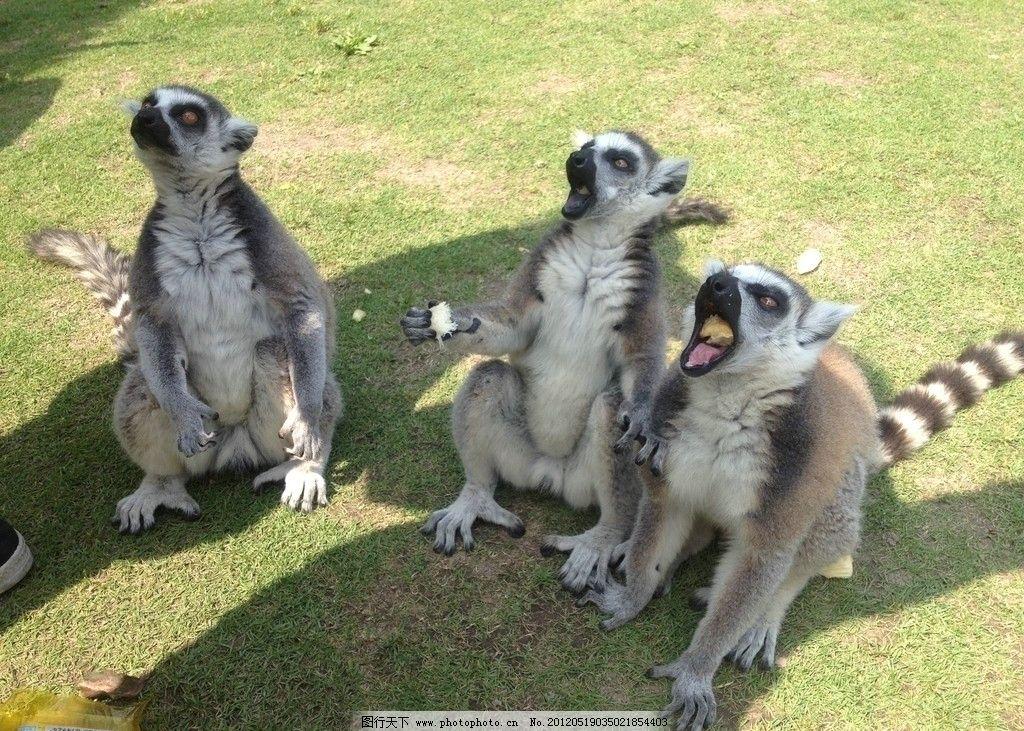 稀有动物 国宝 珍惜动物 狐猴 猴类动物 野生动物 生物世界 摄影