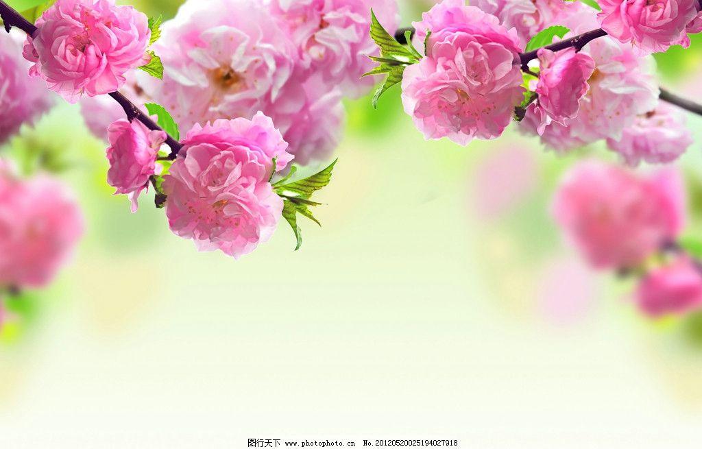 粉色桃花图片