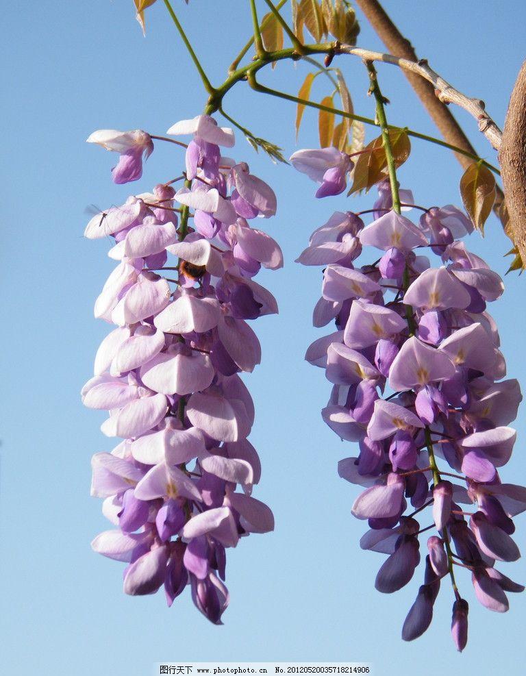 春天的紫藤萝 自然 景色 串花 吊花 摄影