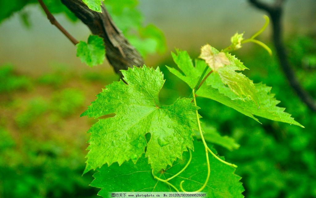 葡萄 葡萄藤 葡萄叶 绿叶 叶子 藤蔓 树木树叶 生物世界 摄影 300dpi