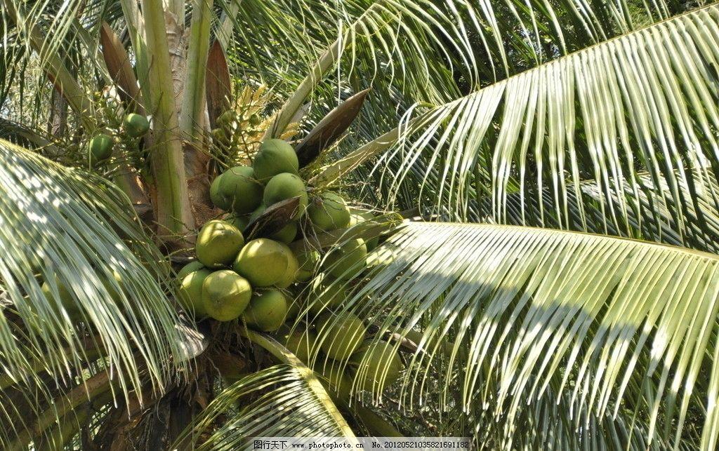 椰子树 海南 三亚 椰子 绿色 热带 风光 植物 树叶 树木树叶 生物世界
