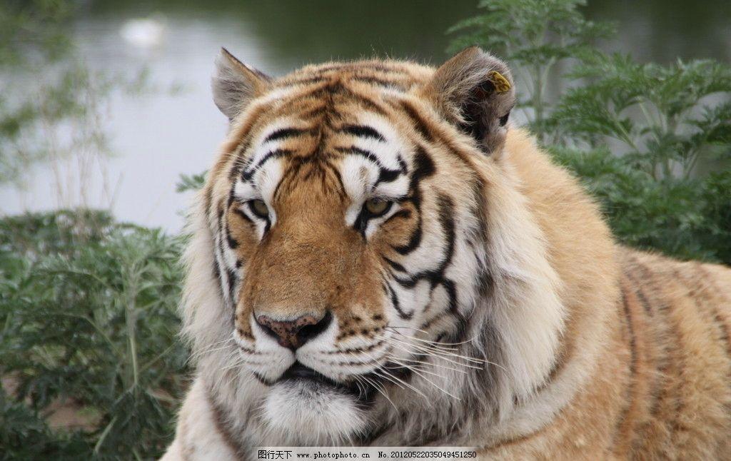 哈尔滨东北虎林园 野生动物 生物世界 摄影