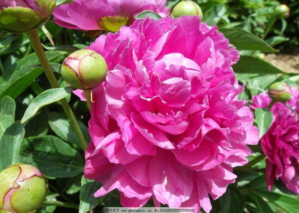 牡丹 银川 春末夏初 中山公园 天香园 牡丹开放 国花 国色天香 雍容