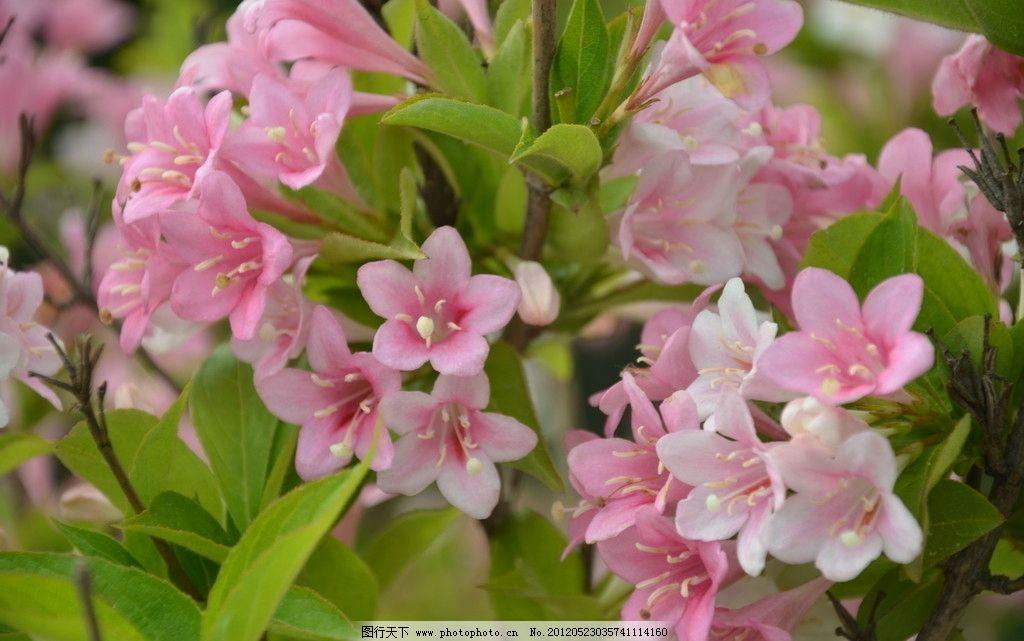 锦带花 花卉 锦带 海仙 簇生 聚伞花序 枝顶 叶腋 花冠 漏斗状 钟形