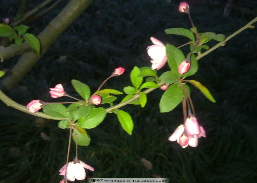 樱花 花朵 花瓣 花枝 树叶 摄影
