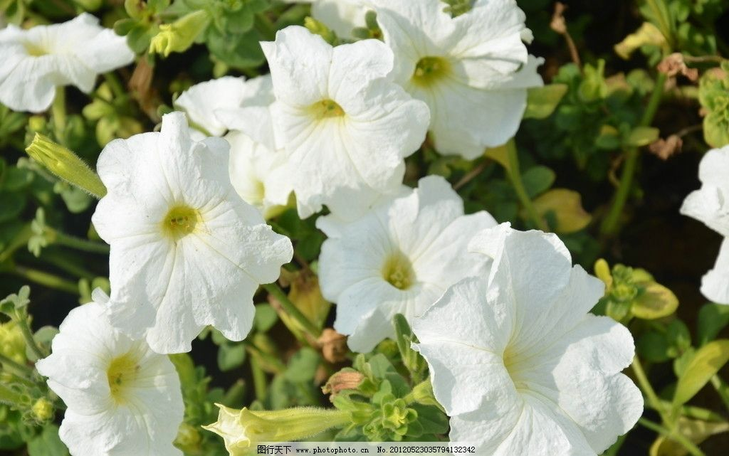 矮牵牛 花卉 碧冬茄 番薯花 花单生 花冠漏斗状 单瓣 数朵 白色 花卉