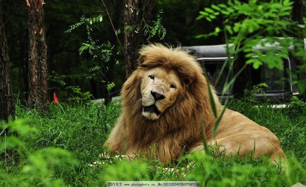 动物世界非洲雄狮