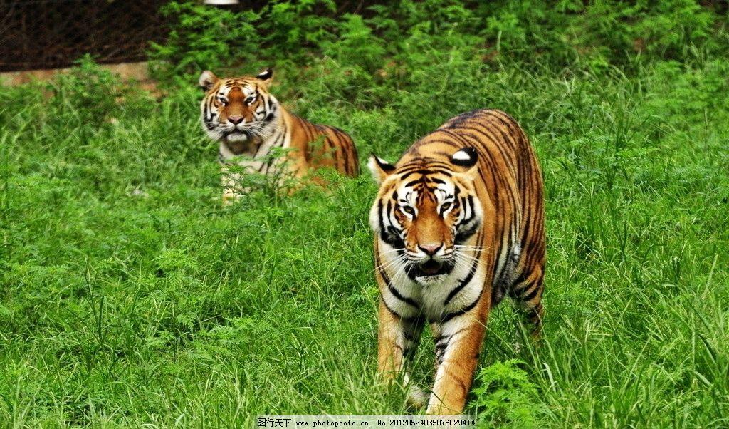 老虎 东北虎 华南虎 小虎 幼虎 可爱 保护动物 哺乳动物 野生动物