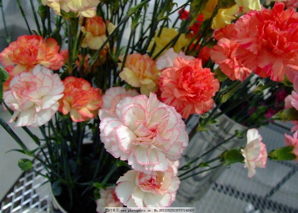 花朵康乃馨图片
