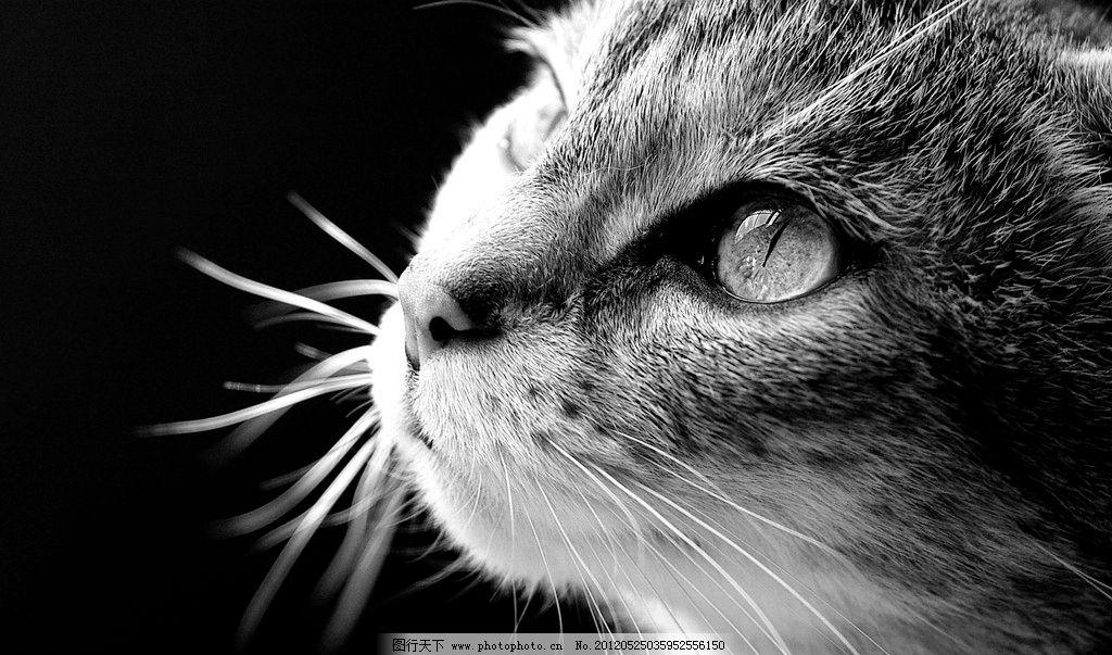 黑白猫咪图片