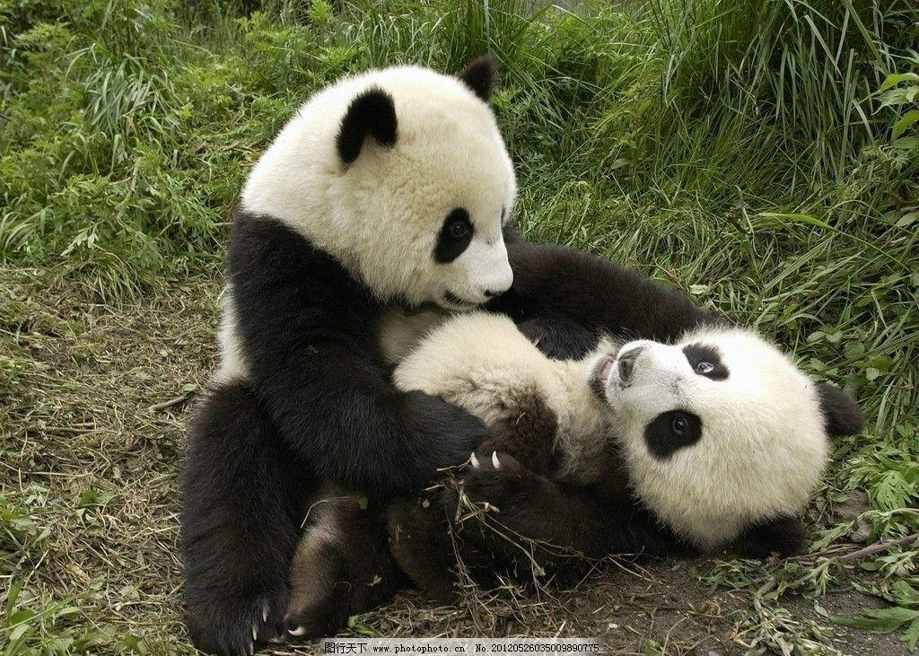 高清素材 熊猫 高清 素材 野生动物 生物世界 摄影 72dpi jpg