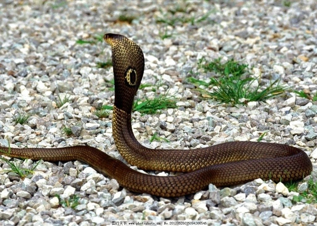 高清素材 眼镜蛇 高清 素材 眼睛 蛇 野生动物 生物世界 摄影 72dpi j