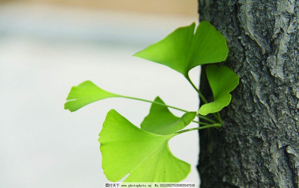银杏叶 银杏新芽 新芽 树木树叶 生物世界 摄影 72dpi jpg