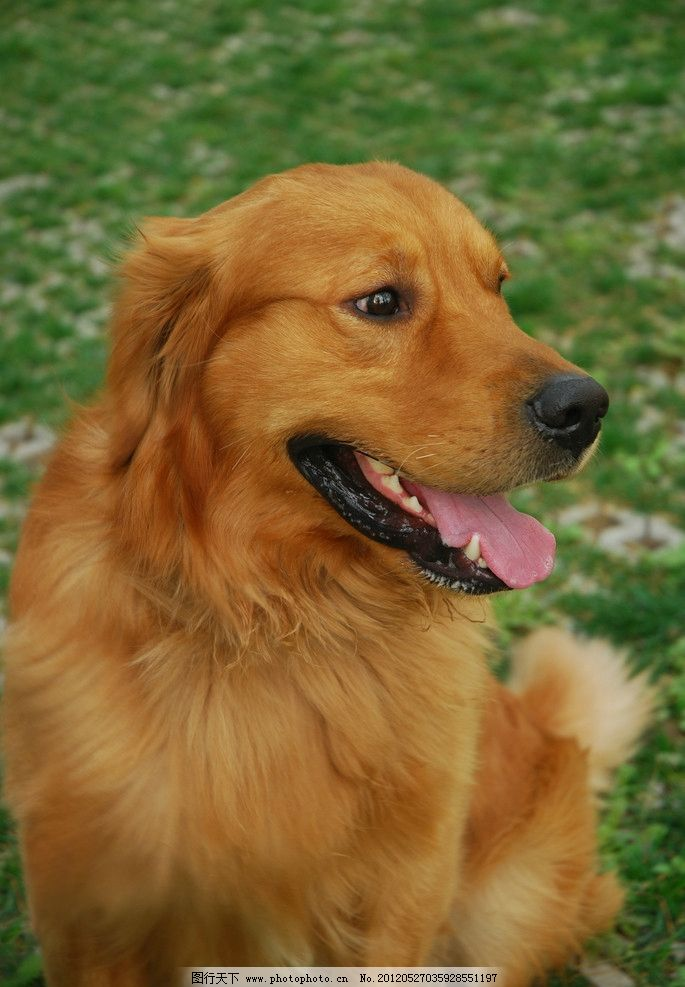 金毛犬 可爱 狗狗 金毛 工作犬 导盲犬 宠物 家禽家畜 生物世界 摄影