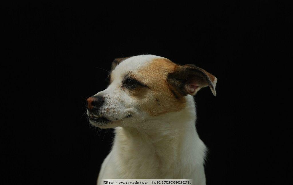 可爱狗狗 可爱 狗狗 宠物 小动物 家禽家畜 生物世界 摄影 300dpi jpg