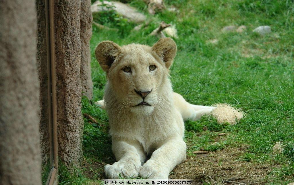 非洲白狮子图片_野生动物_生物世界_图行天下图库