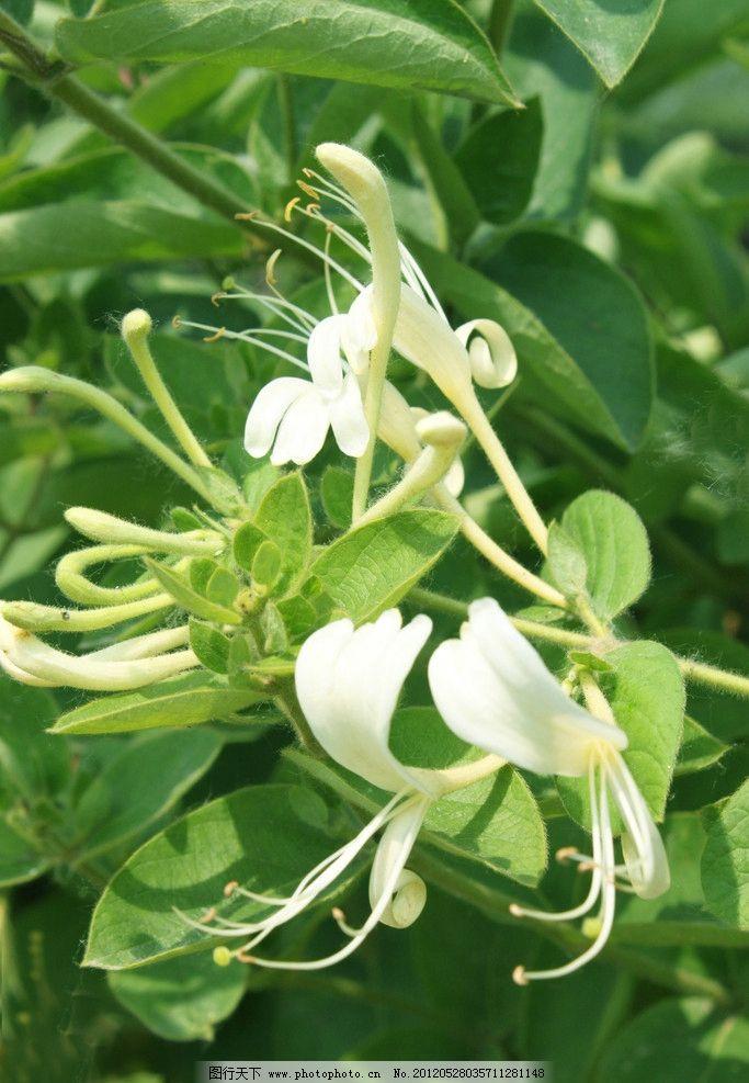 金银花 平邑金银花 金银花叶子 漂亮金银花 清新图片 清新花朵 白色