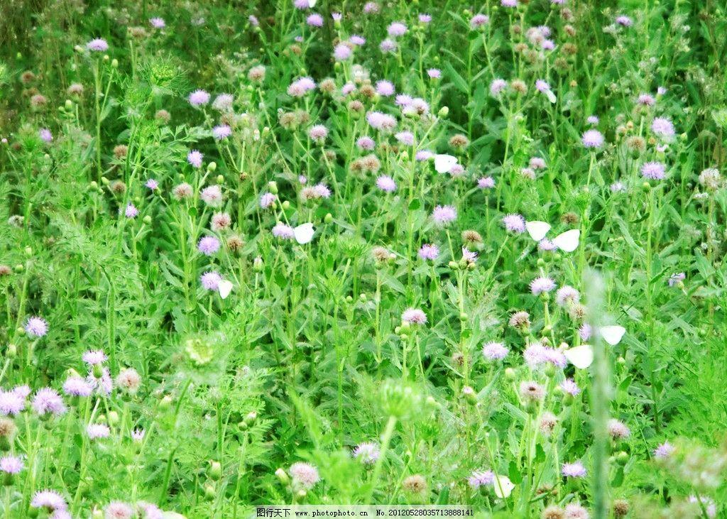 蝴蝶飞在草丛中 乡村 春天 蒲公英 绿叶 花丛 摄影