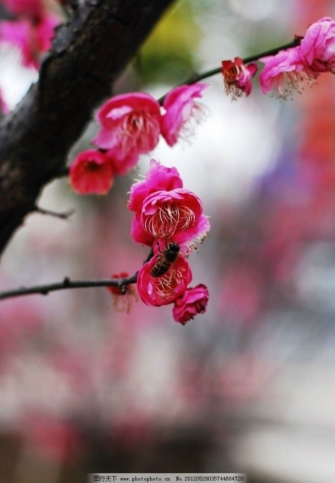 梅花 花芯 花蕊 花瓣 花卉