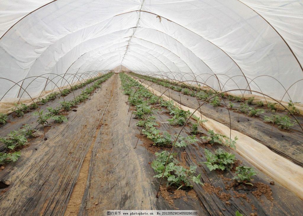 大棚西瓜 西瓜小苗 温室大棚 大棚架 西瓜藤蔓 阳光 水果 蔬菜 大棚