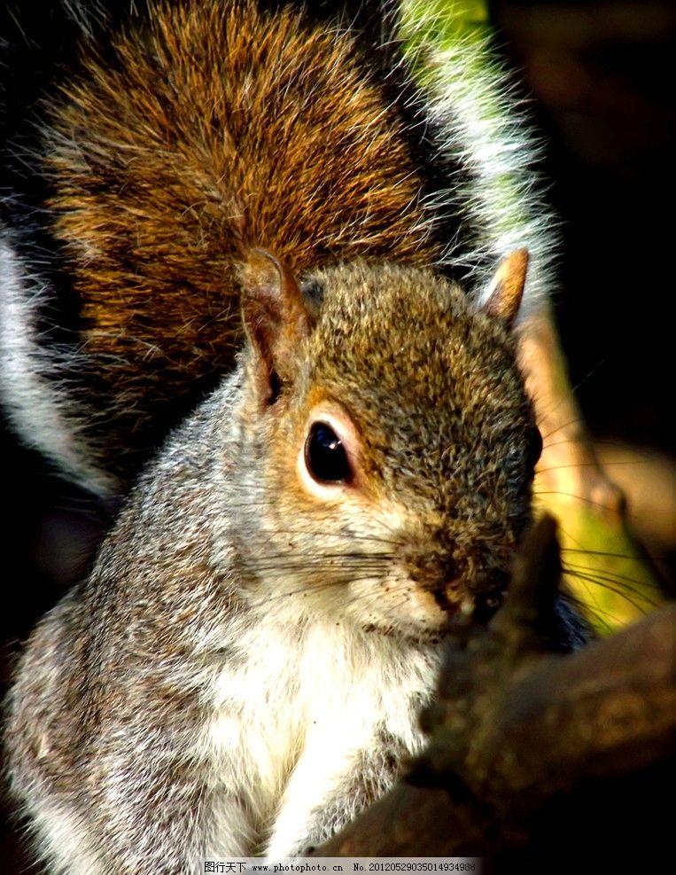 松鼠 动物摄影 动物素材