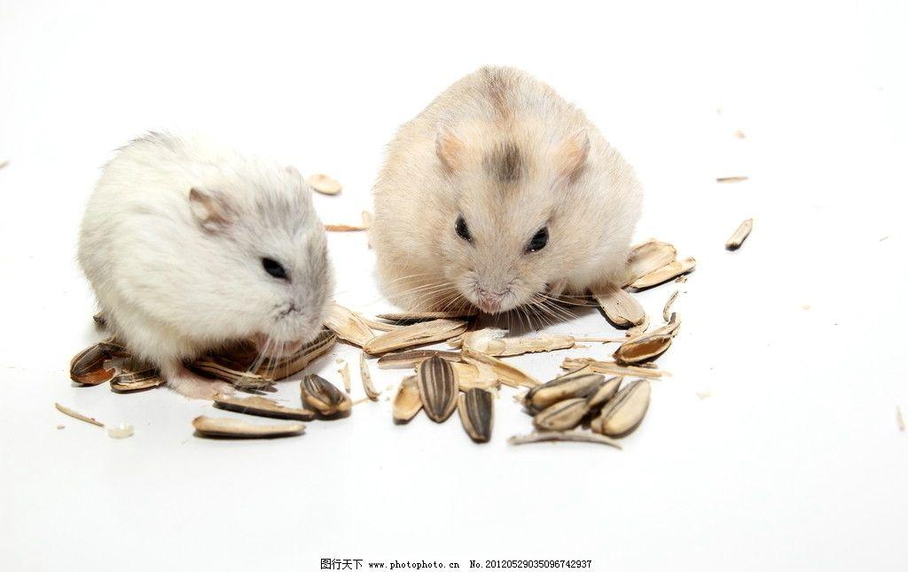 仓鼠 仓鼠嗑瓜子 宠物 鼠鼠 可爱仓鼠 白鼠 老鼠 小动物 摄影