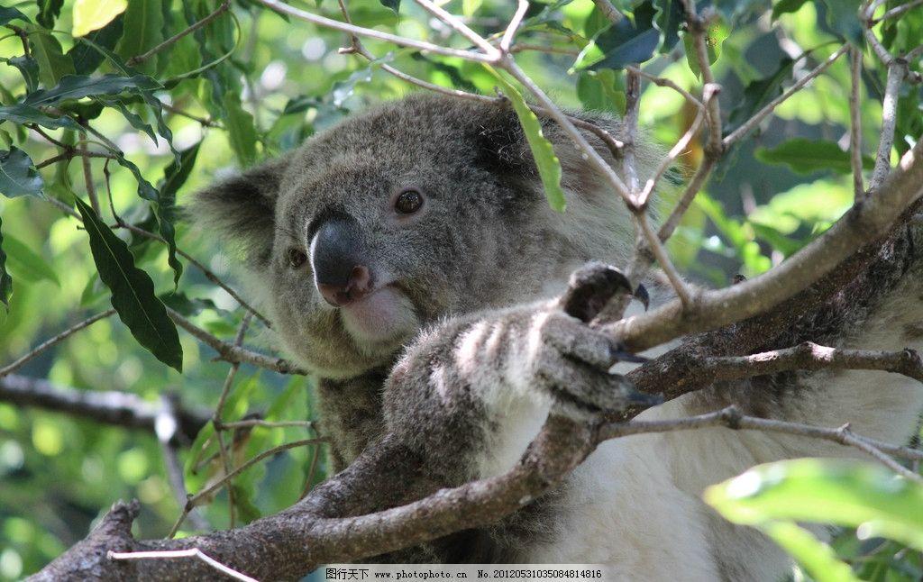 考拉在树上 懒虫 犯困 慢动物 睡觉 树懒 摄影