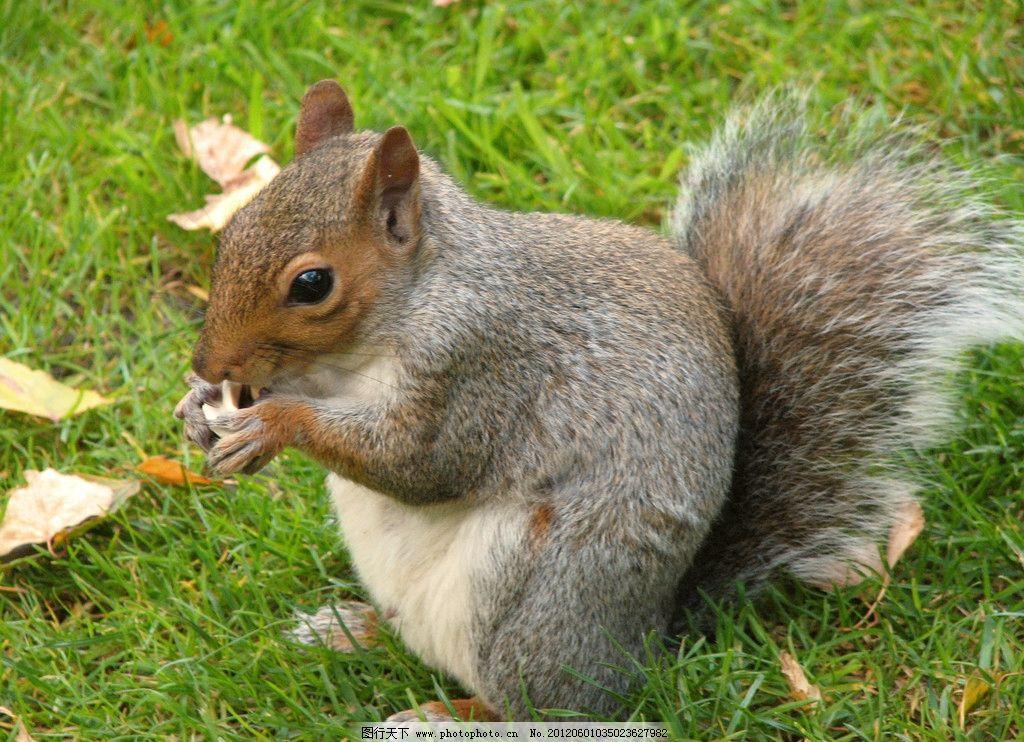 小松鼠 可爱 草坪 绿色草地 高清图片 野生动物 生物世界 摄影